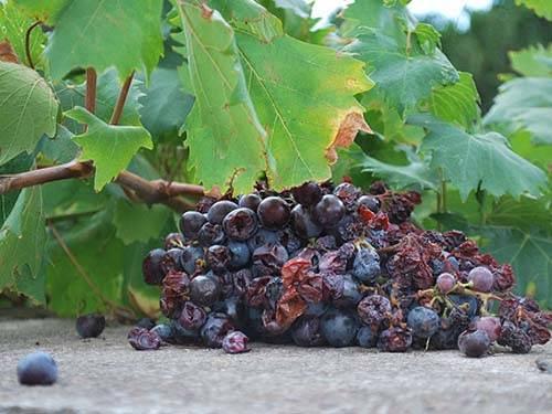 Le raisin pourri au pied des vignes est une source d'intoxication chez le chien