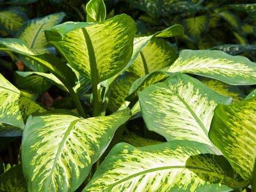 Le Dieffenbachia est une plante toxique pour le chien