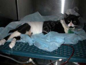 Accident de la rue (ou AVP) chez un chat. La radiographie a mis en évidence une rupture de la vessie. Le chat a été opéré en urgence et mis en réanimation avec une sonde dans la vessie, une perfusion, un traitement contre la douleur, …