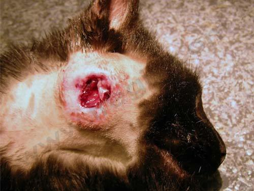 Volumineux abcès nécrosé chez un chat, nécessitant un traitement chirurgical
