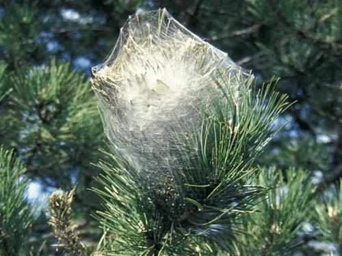 Nid de chenilles processionnaires dans un pin (D'après EPPO Gallery)