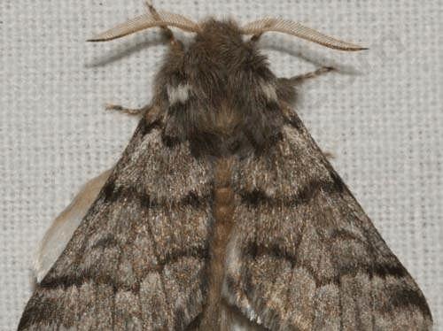 Le papillon donnant naissance à la chenille processionnaire (D'après Papillon Poitou Charentes)